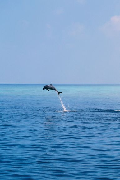 Maafushivaru, Birthing Dolphins And Swimming With Manta Rays... In The Maldives (43)